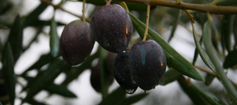 Las organizaciones agrarias aseguran que el aforo confirma las malas previsiones de cosecha de aceite de oliva