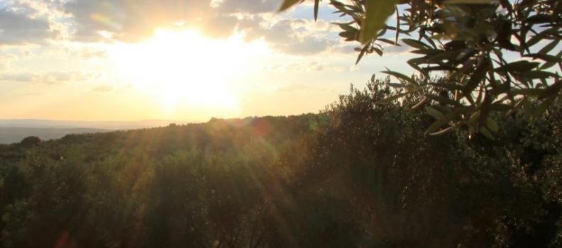 Comienza la nueva campaña oleícola con una ligera bajada de los precios del aceite de oliva en el mercado de origen