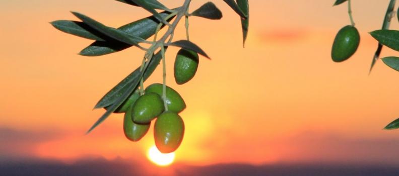 España pierde ya 27 millones de dólares en la exportación de aceituna negra a EE UU