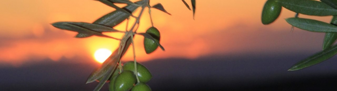 Comienza el noveno mes de la campaña, con precios bajos en origen, con altas temperaturas, falta de lluvias y con la floración del olivo en su recta final