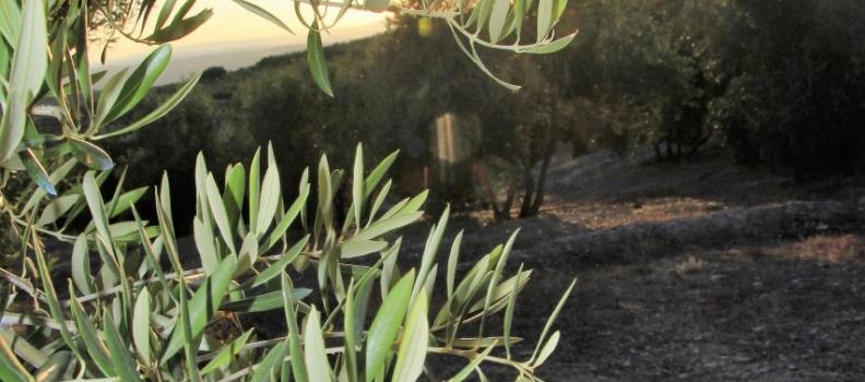 Un trabajo de investigación de Laura Moreno, tutorizado por Juan Vilar, profundiza en la mejora competitiva del olivar extensivo