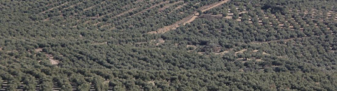ASAJA y COAG valoran la reducción del módulo del IRPF para el olivar