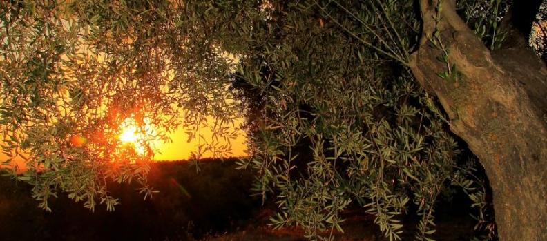 UPA Andalucía recuerda los frentes abiertos que tiene aún el sector del aceite de oliva y destaca el número de salidas