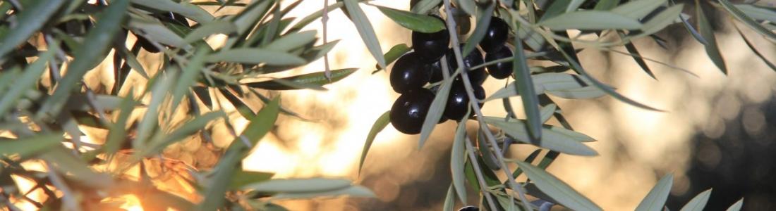 COAG-Jaén augura una merma de un 20% sobre lo previsto en la cosecha de aceite en España