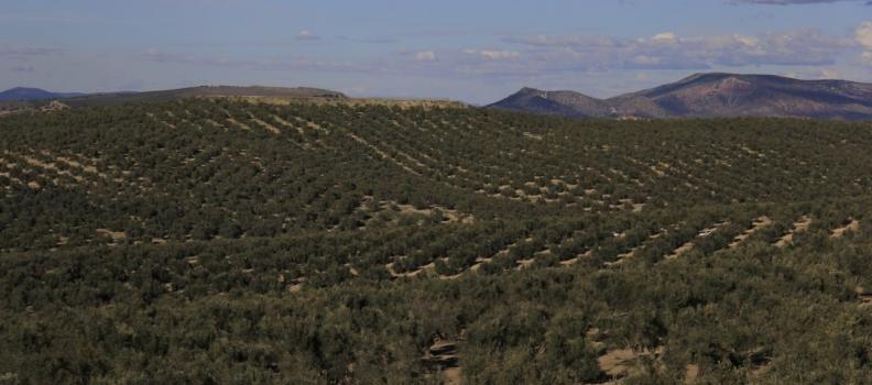 COAG-Jaén pide al nuevo Gobierno un plan urgente para el sector del olivar