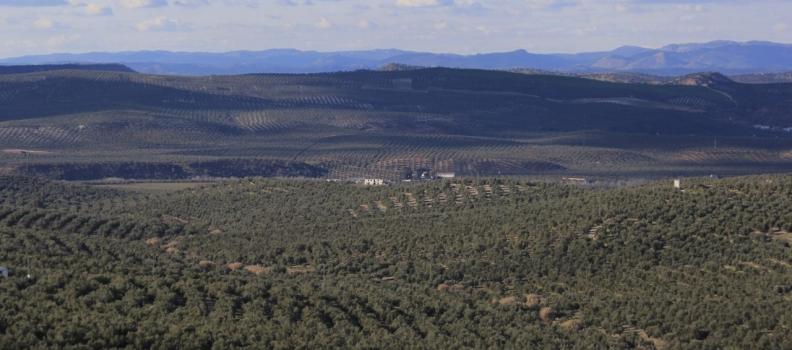 Un trabajo sobre los efectos del cambio climático en la producción del olivar gana el V Premio Internacional Castillo de Canena de Investigación Oleícola «Luis Vañó»