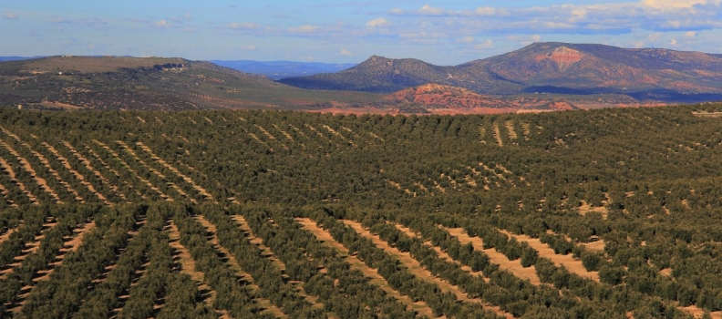 Coag Jaén alerta que solo está asegurada la producción del 7,8 % del olivar jiennense