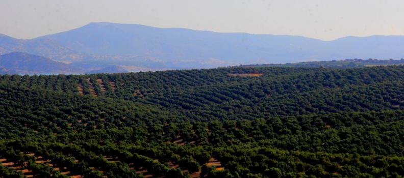 Casi 600.000 toneladas de aceite de oliva se han producido hasta finales de diciembre