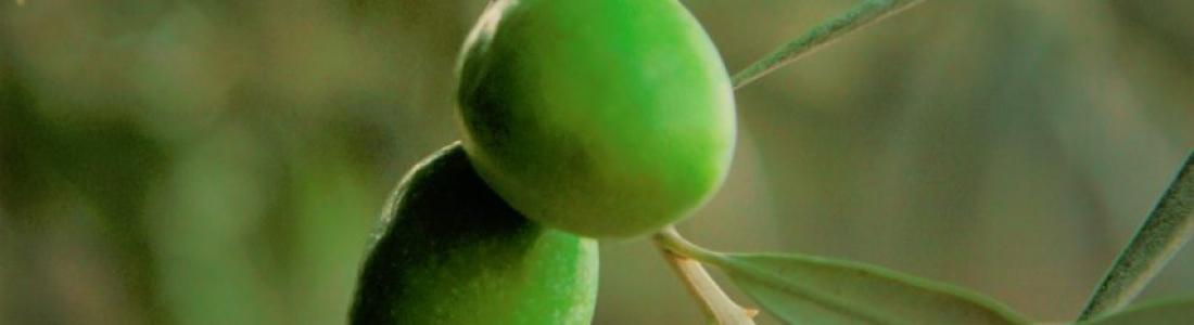 La DO Sierra Mágina calcula una reducción de cosecha de aceituna de entre un 30 y un 40% respecto a la anterior