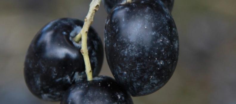 Citoliva estudia el tratamiento del fruto para mejorar la calidad de los aceites de oliva vírgenes extra
