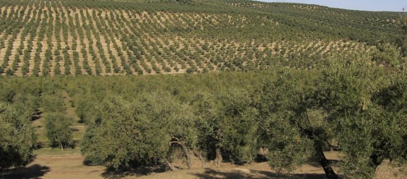 El PSOE lamenta el «insuficiente apoyo» de la Junta para el olivar y el sector agrario