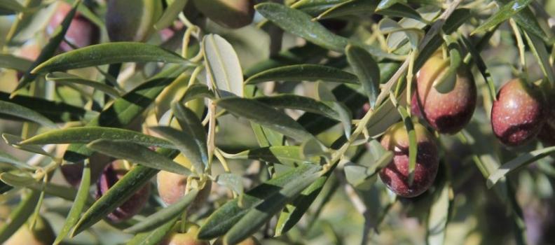 La segunda edición del curso de Experto en gestión de subproductos del olivar e industrias afines se celebrará en la UNIA entre el 20 de abril y el 4 de julio