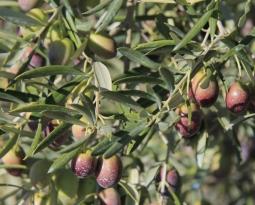 ASAJA y COAG piden al Gobierno la reducción de los módulos agrícolas y del olivar