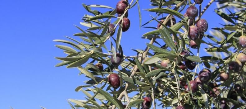 Que las hojas no nos dejen ver el bosque de olivos (*opinión Asensio López)