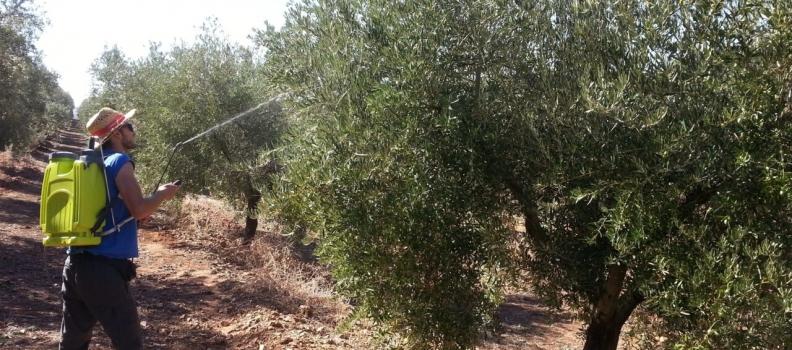 OILOX concluye su segundo hito, en el que se han estudiado técnicas de elaboración para aumentar el contenido en biofenoles del aceite de oliva virgen extra
