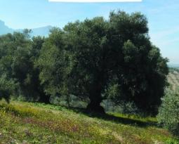 """Finaliza la recolección de la aceituna en la DOP Sierra de Cazorla, que destaca los resultados """"excelentes de calidad"""""""