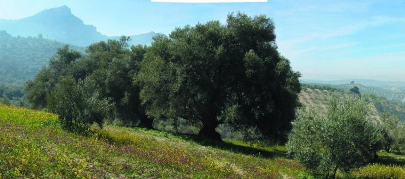 Finaliza la recolección de la aceituna en la DOP Sierra de Cazorla, que destaca los resultados «excelentes de calidad»