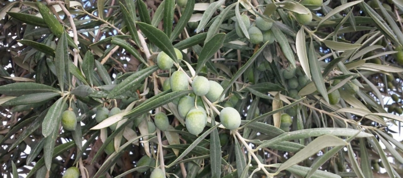 La DO Sierra de Cazorla prevé una reducción de cosecha de aceite de oliva de entre un 40 y un 50%  menos respecto a la campaña anterior