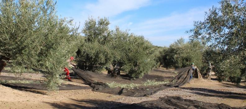 Sierra Mágina produce  30.400 toneladas de aceite de oliva en esta campaña frente a las 40.300 de la pasada