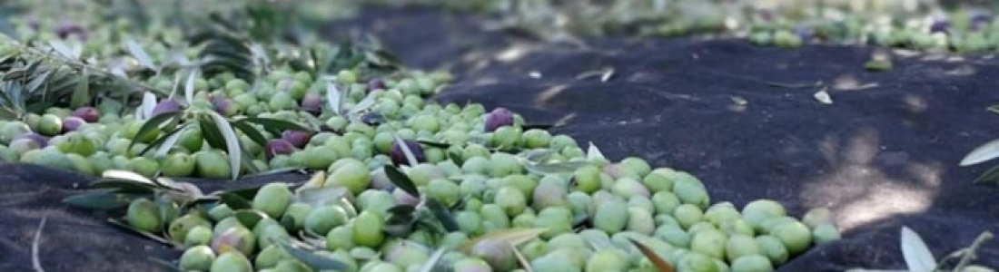 COAG recuerda a los olivareros la obligatoriedad de generar el DAT en la recogida de la aceituna