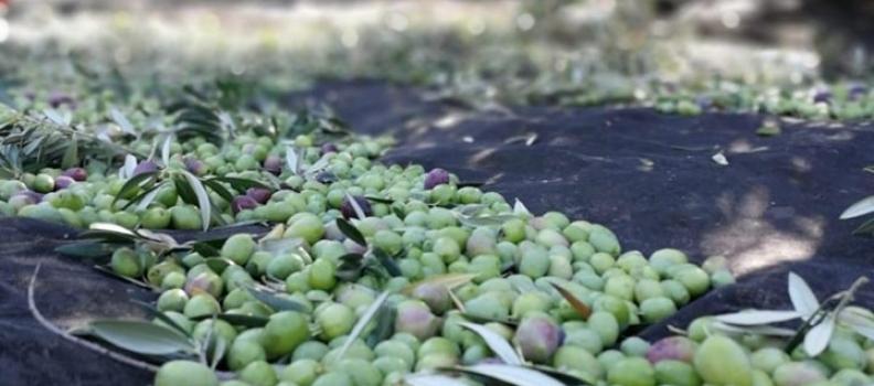 El Comité de Gestión de Mercados de la UE aprueba la activación del almacenamiento privado de aceite de oliva
