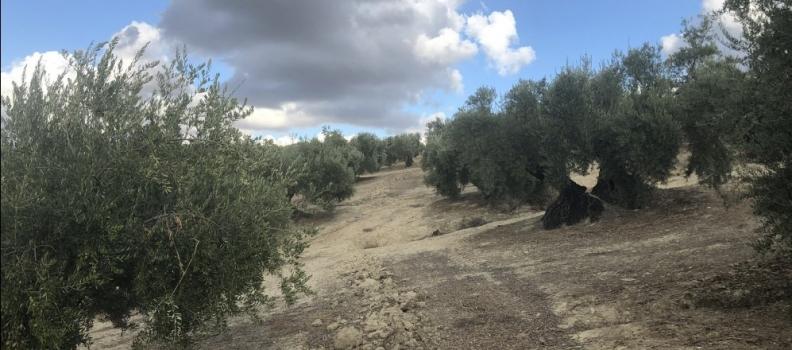 Un trabajo de investigación constata que casi la tercera parte de la superficie de olivar mundial no es transformable