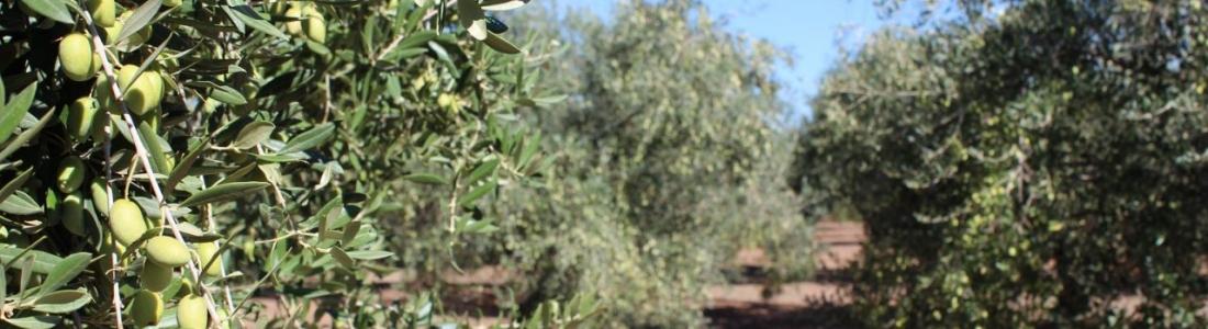 ASAJA-Jaén destaca las salidas al mercado de aceite de oliva en noviembre