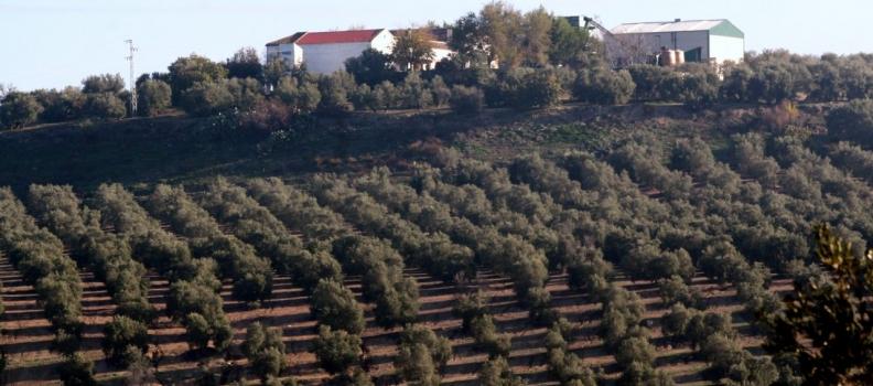 UPA hace un llamamiento al mercado del aceite de oliva en el Día Mundial del Olivo para lograr precios justos