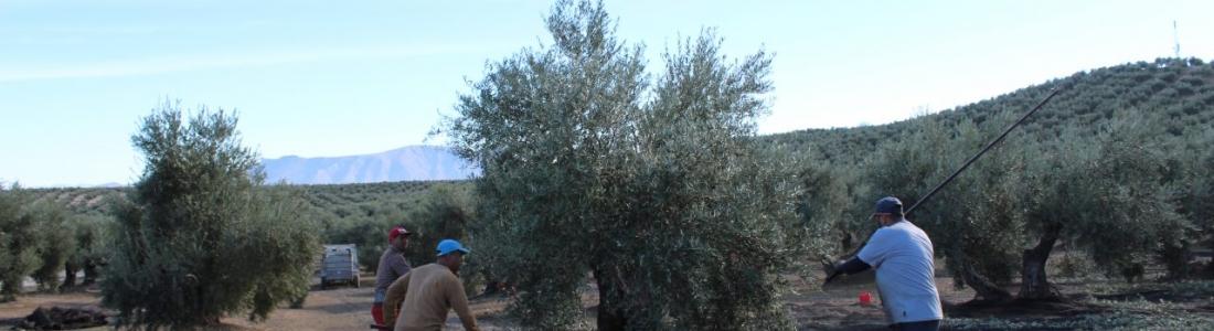 La DO Sierra Mágina produce hasta mediados de enero 28.000 toneladas de aceite de oliva
