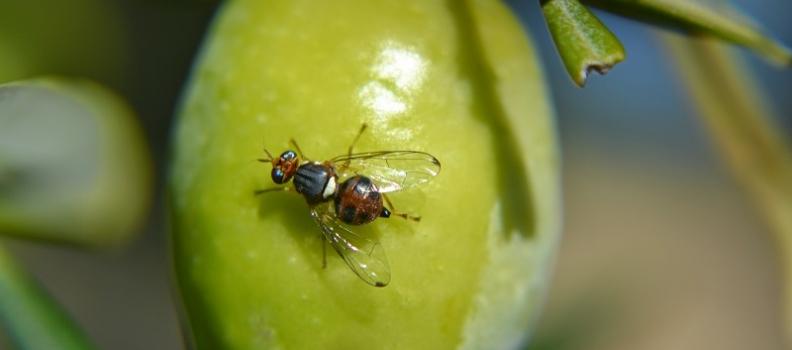 El Consejo Regulador de la Denominación de Origen Sierra Mágina realizará aplicaciones terrestres contra la mosca del olivo