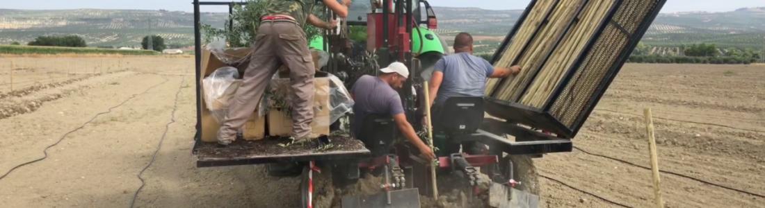 El Grupo Oleícola Jaén lleva a cabo una plantación experimental de 15 hectáreas de olivar resistentes al verticilium