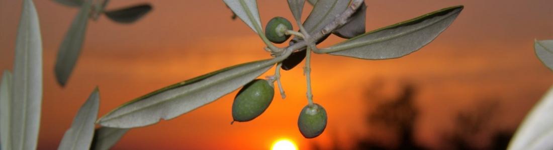 La climatología, como siempre, tendrá la última palabra en las cifras de producción de aceite de oliva