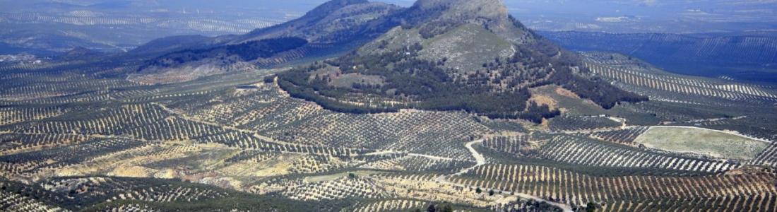 UPA y COAG descartan que el olivar haya sufrido daños por los efectos de la ola de frío