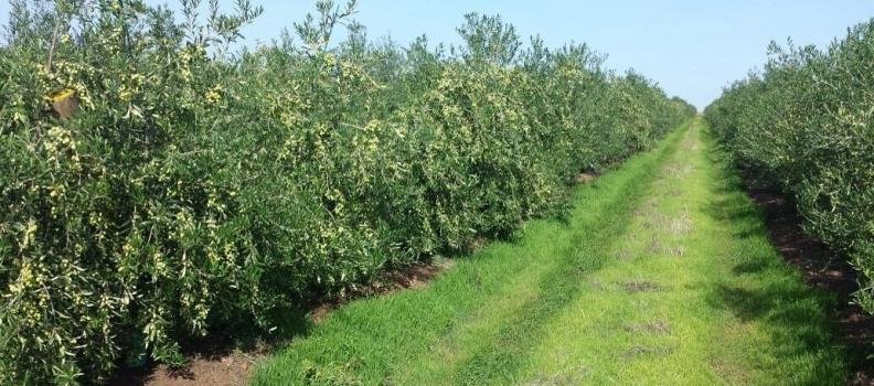 Un trabajo de investigación profundiza en las posibilidades de transformación del olivar de Jaén