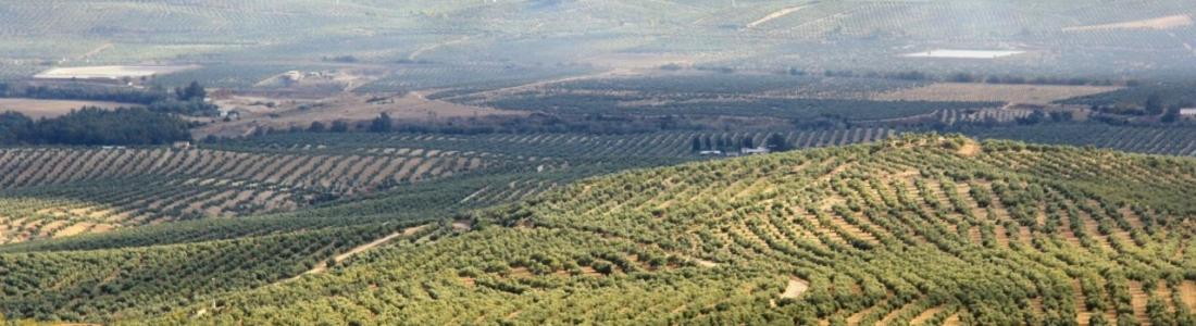 El COI elige Jaén para conmemorar el Día Mundial del Olivo en España