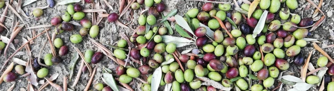 Ucrania se convierte en el país número 62 en producir aceite de oliva