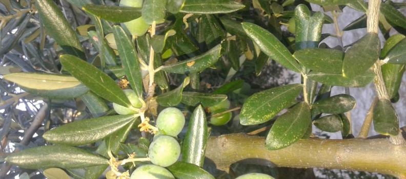 La DO Sierra de Cazorla prevé doblar la producción de aceituna esta campaña