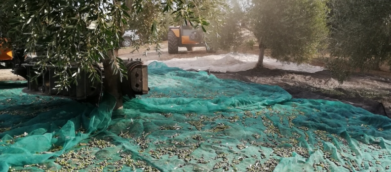 "COAG-Andalucía reclama transparencia para que el olivar ""no se vea sometido a prácticas especulativas"""