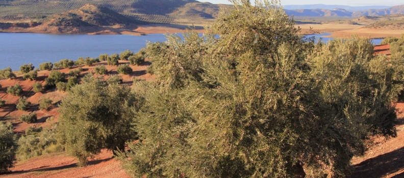 """Agricultura confía que la CE se pronuncie """"lo antes posible"""" sobre el expediente de la IGP Aceite de Jaén"""