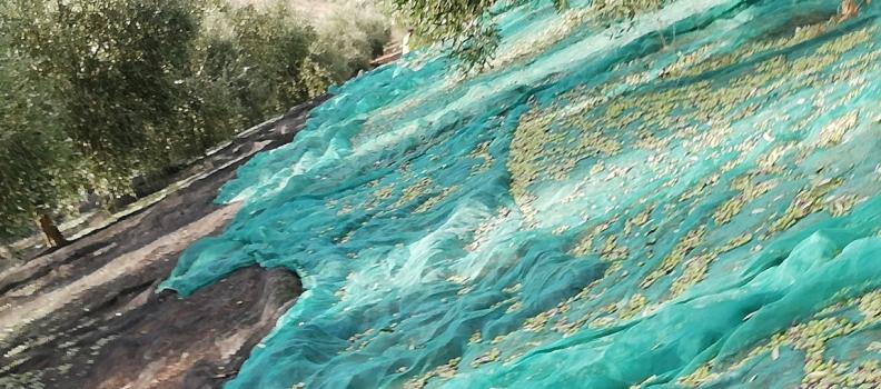 Infaoliva pronostica que la producción de aceite de oliva en España estará en el entorno de 1,6 millones de toneladas