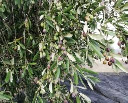 Agricultura aumenta el presupuesto de las ayudas a la promoción del olivar incluido en un régimen de calidad