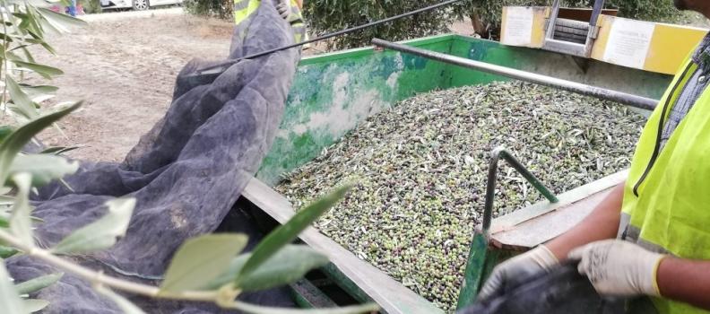 La producción de aceite de oliva hasta noviembre alcanzó las 102.000 toneladas y la comercialización 110.000