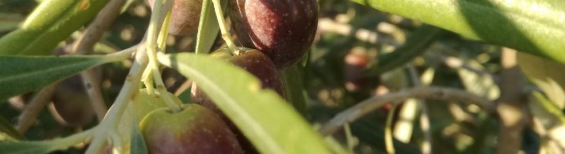 Un total de 443.000 toneladas de aceite de oliva se produjeron en diciembre, mes en el que las existencias totalizaban 564.000