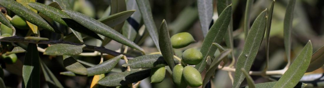 UPA-Jaén pronostica una cosecha media de en torno a 1,3 millones de toneladas de aceite de oliva
