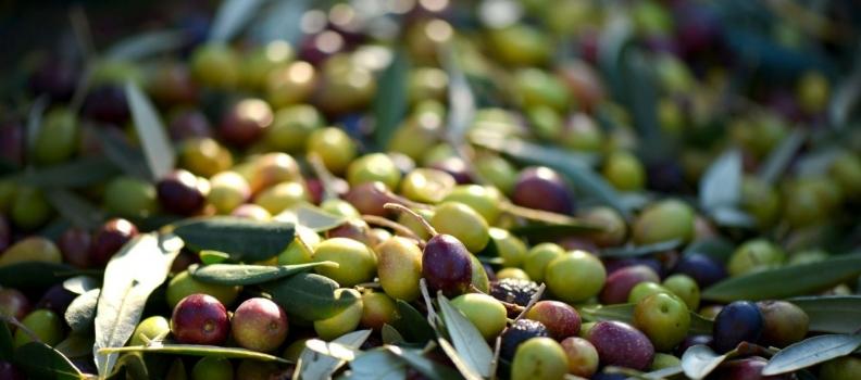 Una investigación revela que las plantas de adecuación y tratamiento postcosecha de aceituna contribuyen a conservar la calidad del fruto