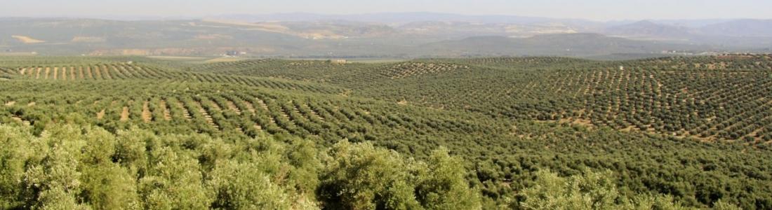 Concluye la temporada de polinización del olivo con cifras inferiores a la pasada campaña