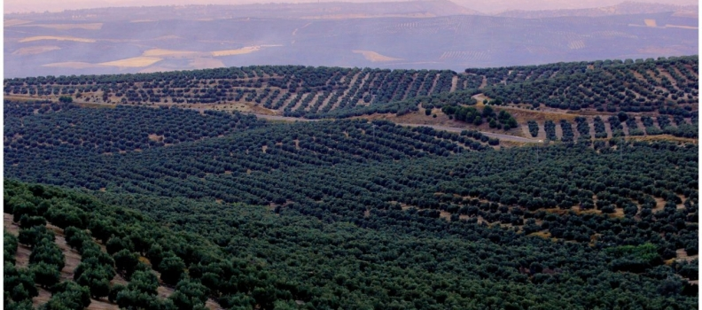 Asolite mantendrá mañana reuniones en el Parlamento andaluz con los grupos políticos y habrá una concentración para pedir soluciones para el olivar tradicional