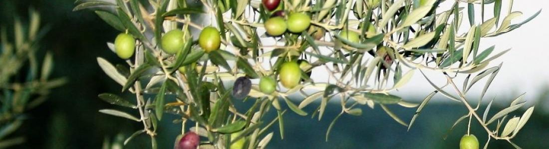 COAG-Jaén pide la reducción del módulo fiscal para el olivar, el algodón y la ganadería