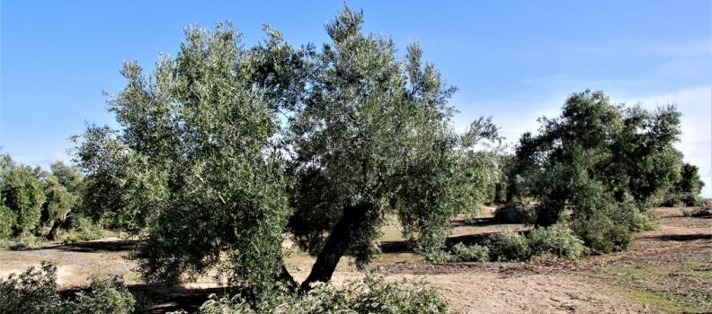 Peal de Becerro celebra el remate de la campaña de la aceituna con unas jornadas basadas en la poda del olivar