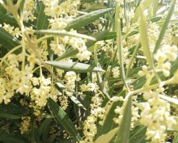 La escalada de precios del aceite de oliva en el mercado de origen se estabiliza coincidiendo con el proceso de la floración